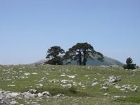 Pini loricati e sullo sfondo Serra del Prete